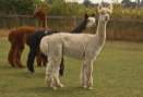 The Playbarn - Alpaca Antics